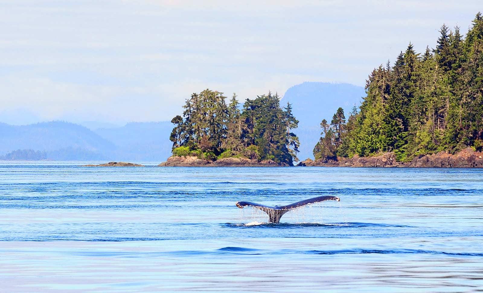 Bijzonder: Humpback Whales spotten bij Vancouver Island, Canada