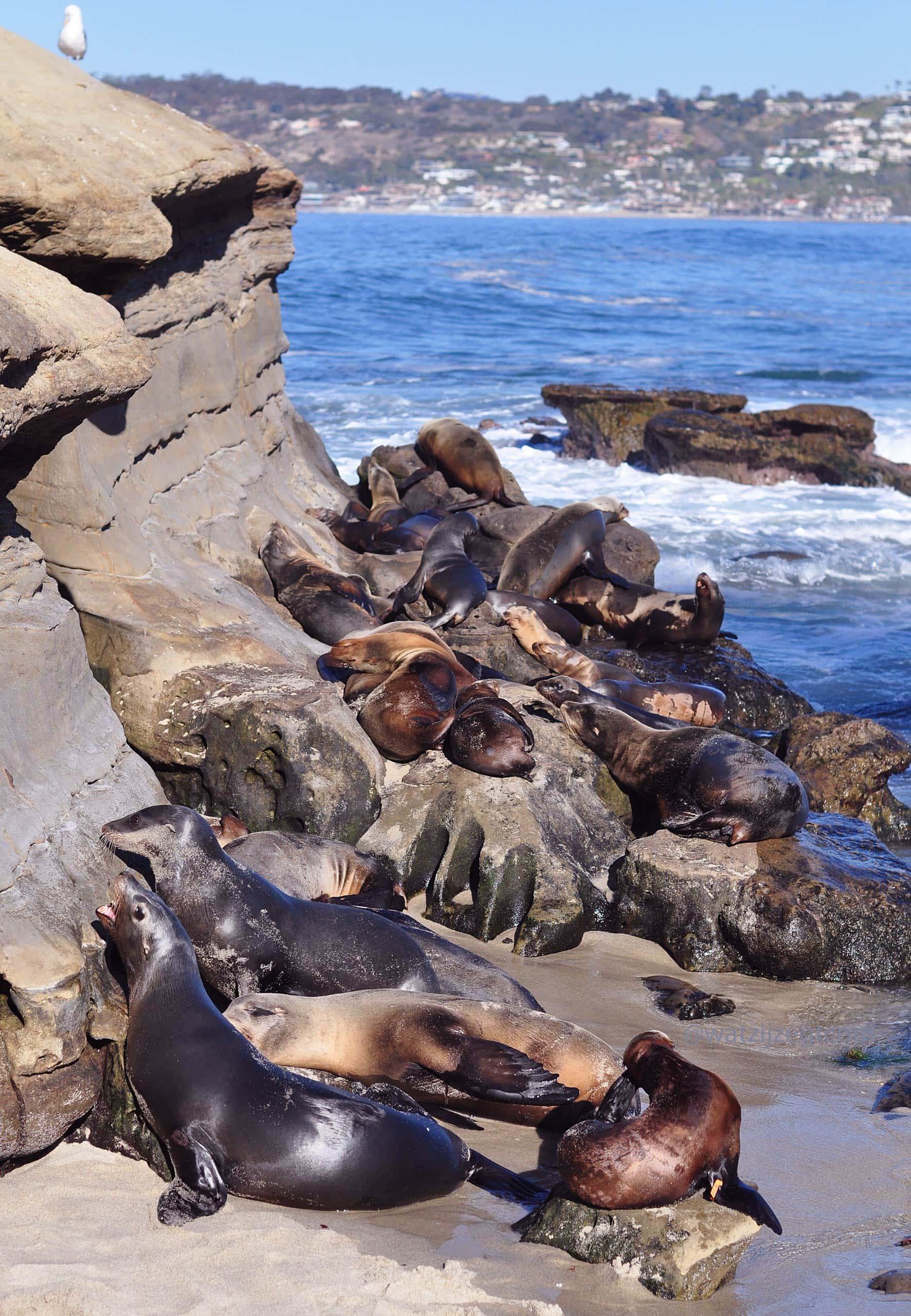Zeeleeuwen in La Jolla in San Diego