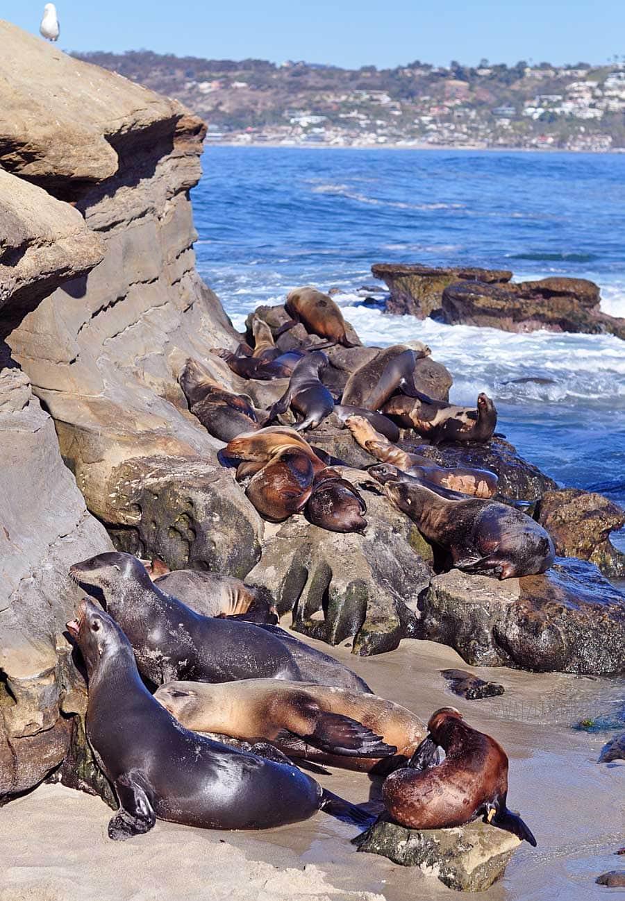De befaamde seals bij Seal Cove in La Jolla, San Diego
