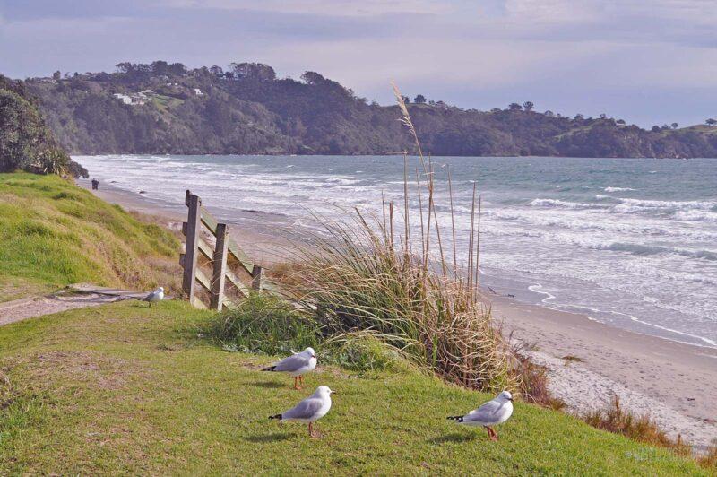 Zeemeeuwen op Waiheke Island, Nieuw-Zeeland