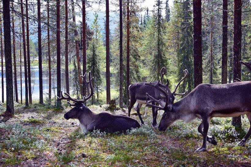 Tussen de rendieren in Salla Reindeer Park, Fins Lapland