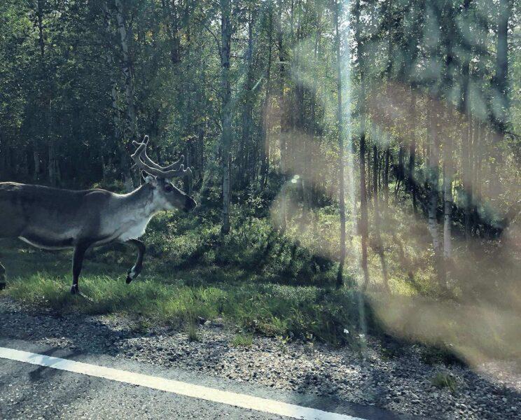 22 augustus 2018: Rendieren langs de weg in Lapland