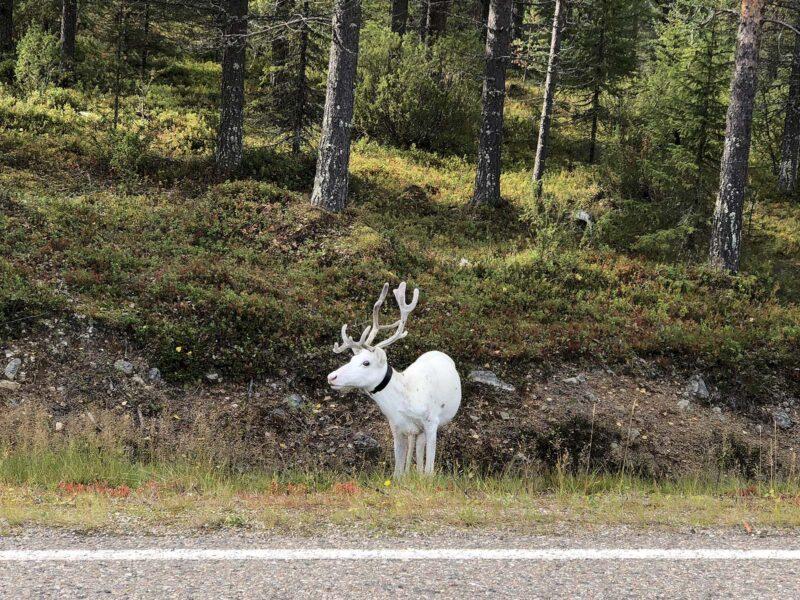 18 aug 2018: een wit rendier in Finland